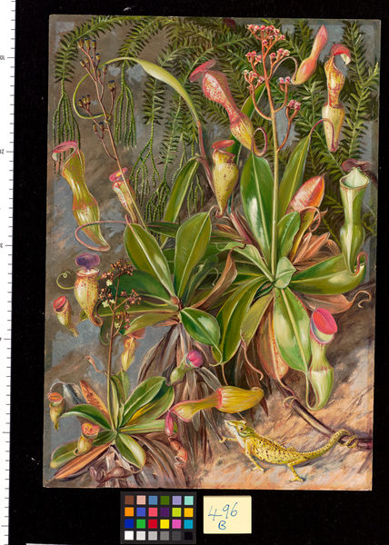 496. The Seychelles Pitcher Plant in blossom and Chamaeleon.. © RBG KEW