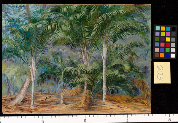 500. A group of Palms in Mahe, Seychelles.. © RBG KEW