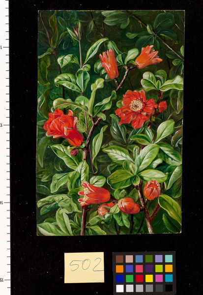 502. Flowers of the Pomegranate, painted in Teneriffe.. © RBG KEW