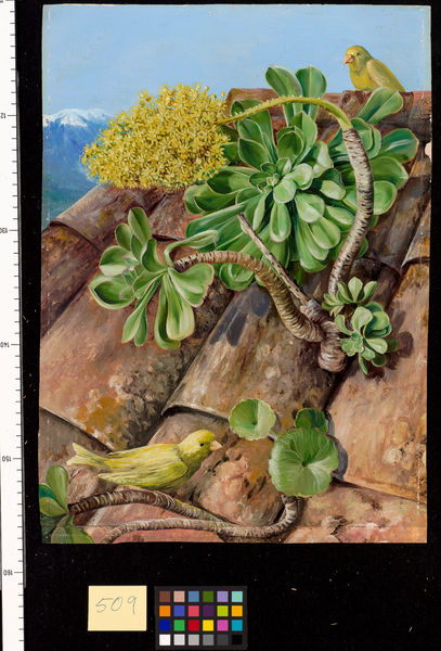 509. Houseleek and Canary-birds in Teneriffe.. © RBG KEW