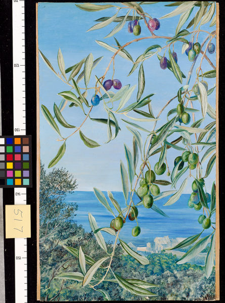 517. Study of Olives, painted in Italy.. © RBG KEW