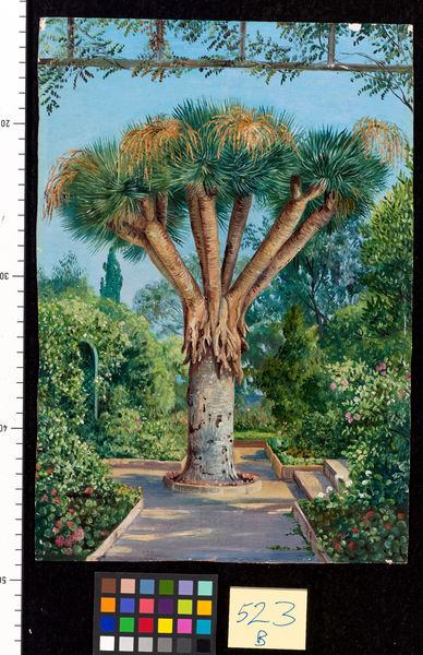 523. Dragon Tree in a garden at Santa Cruz, Teneriffe.. © RBG KEW
