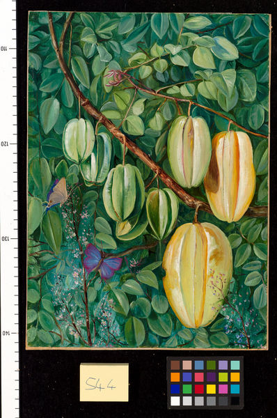 544. Flowers and Fruit of the Carambola and Butterflies, Singapo. © RBG KEW