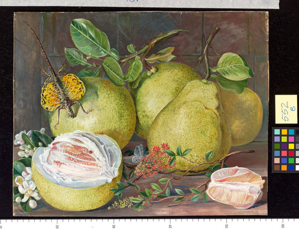 552. Flowers and Fruit of the Pomelo, a branch of Hennah, and Fl. © RBG KEW