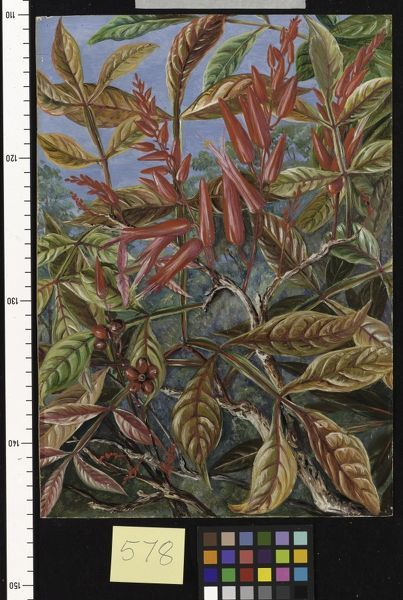 578. Bitter wood in flower and fruit, painted at Sarawak.. © RBG KEW