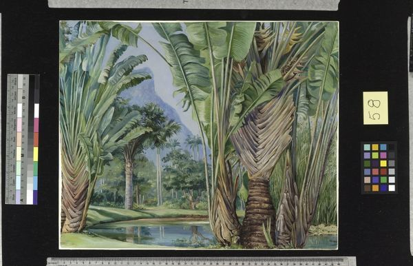 58. Study of the Traveller's Tree of Madagascar in the Botanic G. © RBG KEW