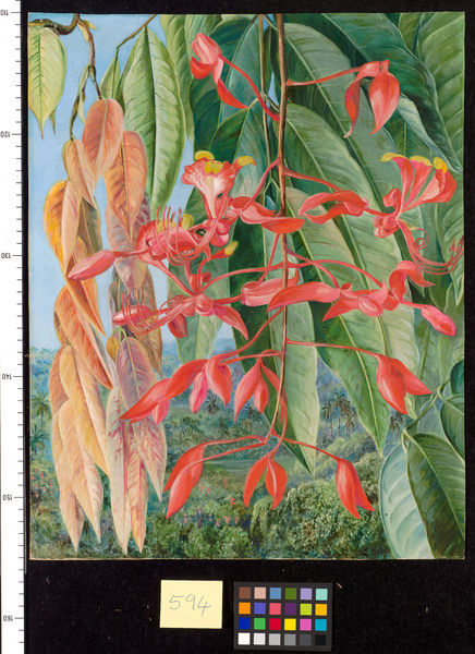 594. Foliage and Flowers of the Burmese Thaw-ka or Soka, painted. © RBG KEW
