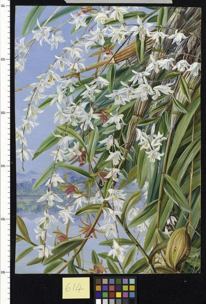 614. The Turong, or Pigeon Orchid in Borneo, and a purple-brown. © RBG KEW