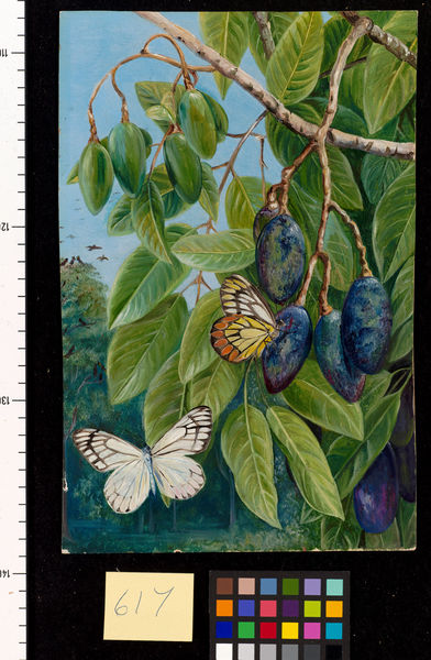 617. Foliage and Fruit of the Kenari and Butterfly, Java.. © RBG KEW