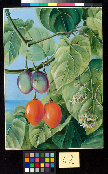 62. Foliage, Flowers, and fruit of False Tomato, painted in Braz. © RBG KEW