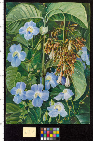 627. Blue-flowered Climber and a common Swamp Plant of Sarawak,. © RBG KEW