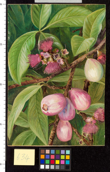 634. Foliage, Fruit, and Flowers of a Rose-apple, Java.. © RBG KEW