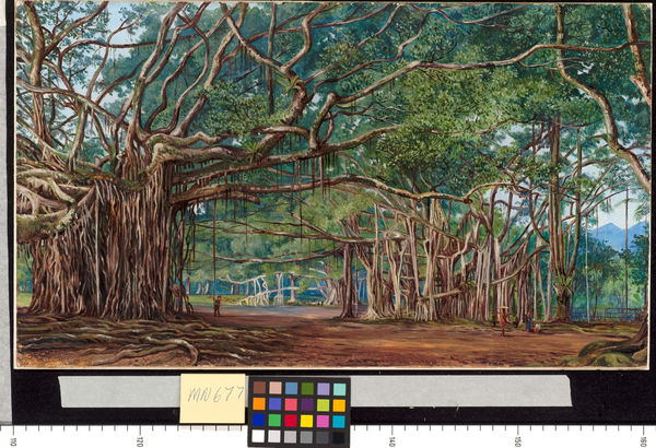 677. Old Banyan Trees at Buitenzorg, Java.. © RBG KEW
