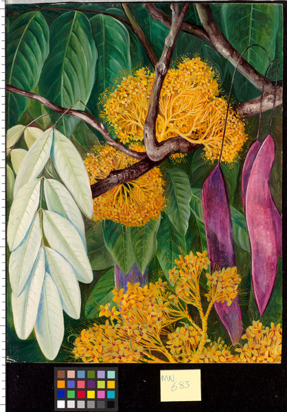683. Foliage, Flowers, and Fruit of a Malayan Tree.. © RBG KEW