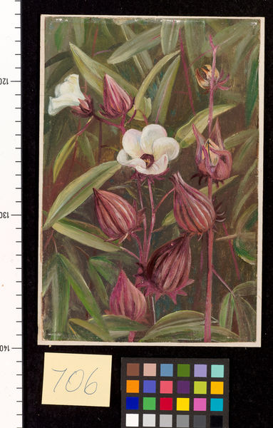 706. Flowers of Roselle.. © RBG KEW