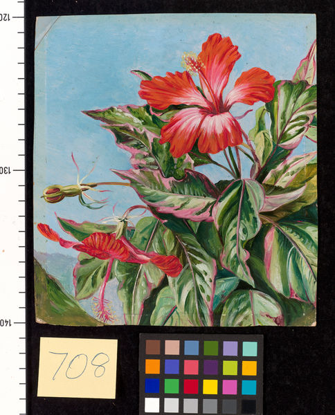 708. A New Caledonian Plant, Hibiscus Cooperi.. © RBG KEW