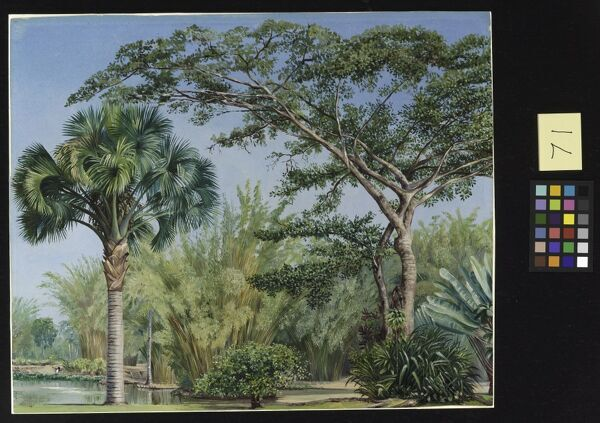 71. Palm, Bamboos and India-rubber Trees in the, Botanic Garden,. © RBG KEW