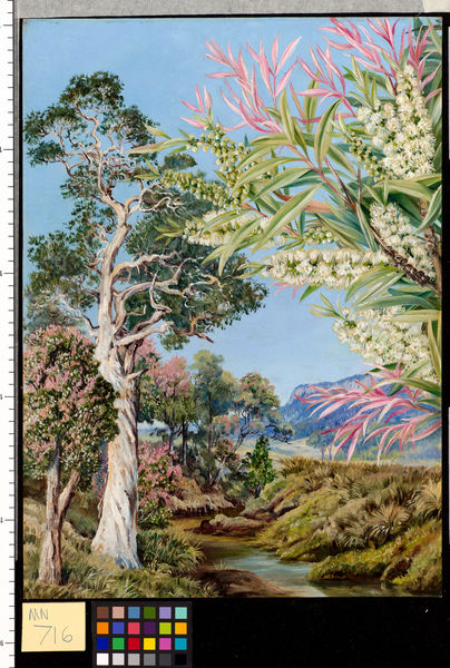 716. Illawarra, New South Wales.. © RBG KEW