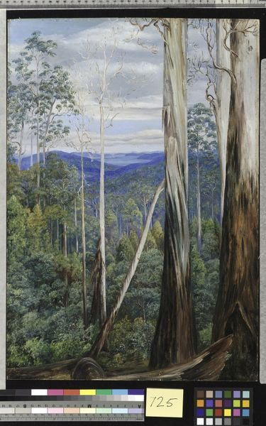 725. Blue Gum Trees, Silver Wattle, and Sassafras on the Huon Ro. © RBG KEW