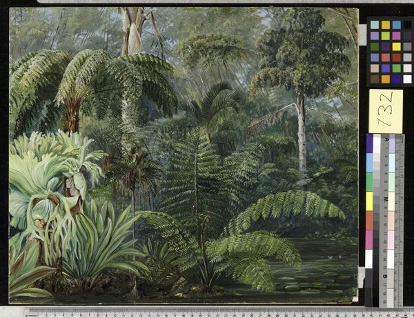 732. Palms and Ferns, a scene in the Botanic Garden, Queensland.. © RBG KEW