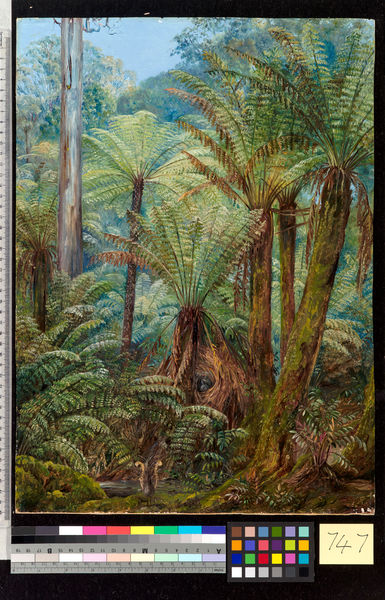747. Tree Ferns in Victoria, with a nest of the Lyre Bird.. © RBG KEW