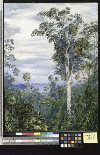 760. White Gum Trees and Palms, Illawarra, New South Wales.. © RBG KEW