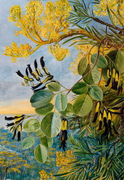 766. Flowers of the Flame-tree and yellow and black twiner, West Australia.. © RBG KEW
