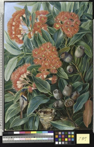789. Flowers and Seed-vessels of a West Australian Gum Tree and. © RBG KEW