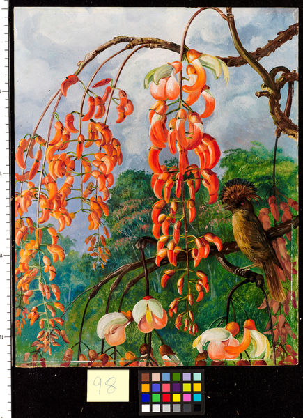 98. Flowers of a Coral Tree and King of the Flycatchers Brazil.. © RBG KEW