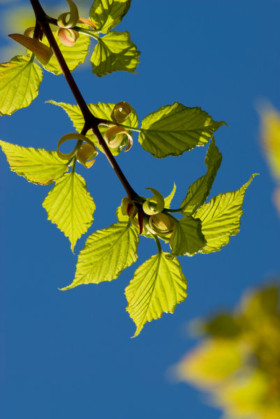 Acer capillipes. © RBG KEW