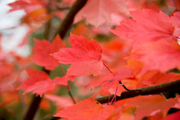 Acer rubrum, 'October Glory',. © RBG KEW