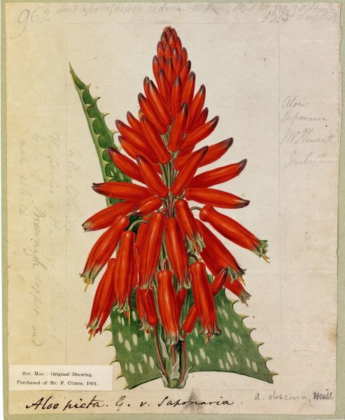 Aloe picta, Thunb. (Spotted-leaved Aloe). © RBG KEW