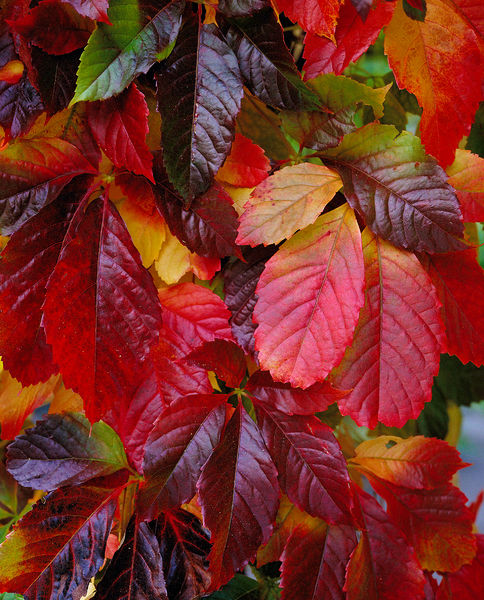 autumn colour. © RBG KEW
