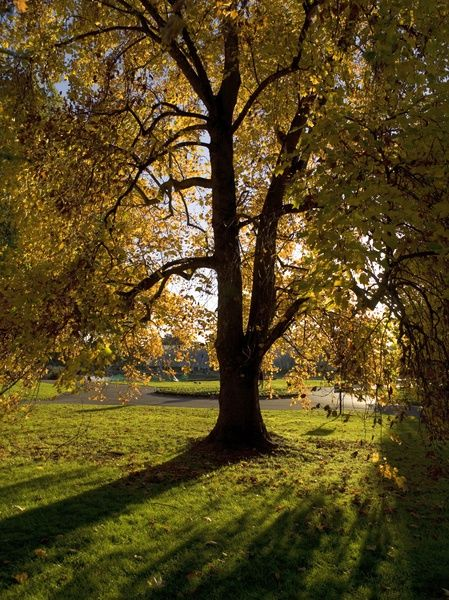 autumn tree. © RBG KEW