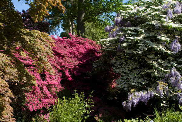 Azaleas,Wisteria and Rhododendrons. © RBG KEW