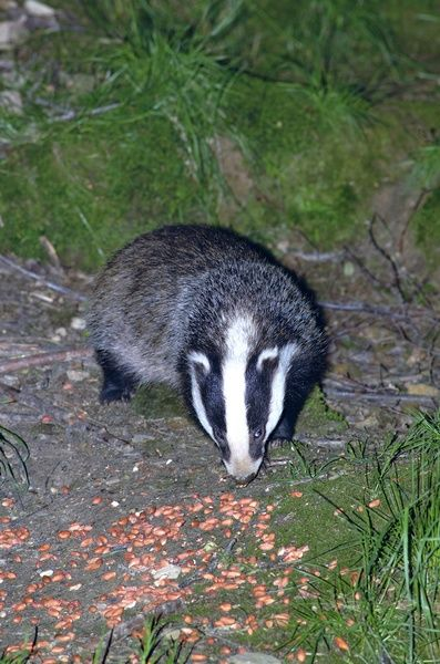 Badgers. © RBG KEW