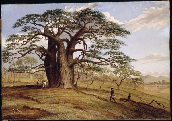 'Baobab near the bank of the Lue' (Adansonia digitata). © RBG KEW