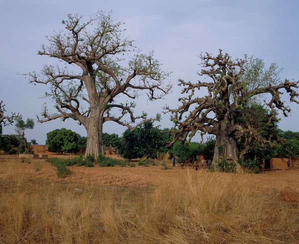 Baobabs on the road between Niangoloko and Banfora. © RBG KEW