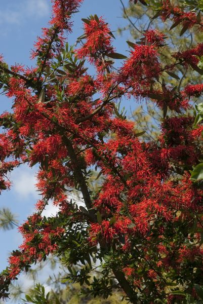 Chilean fire bush. © RBG KEW