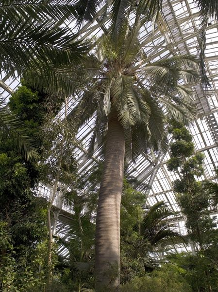 chilean wine palm, Temperate House interior. © RBG KEW
