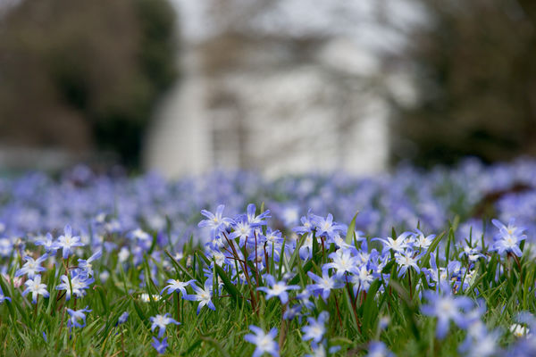 Chionodoxa planting in front of the Orangery. © RBG KEW