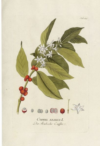 Coffea arabica, coffee. © RBG KEW