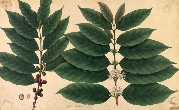 Flowers and beans of Coffea arabica: coffee plant. © RBG KEW