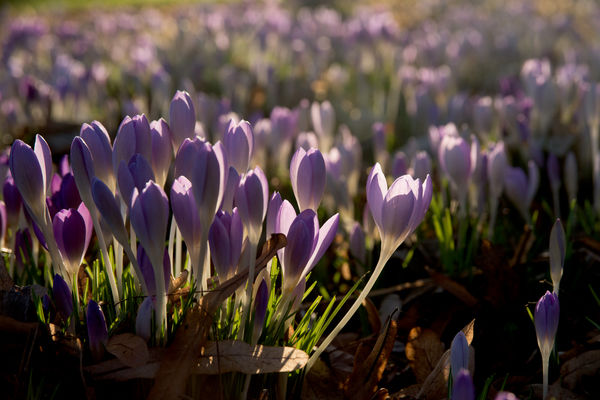Crocus carpet. © RBG KEW