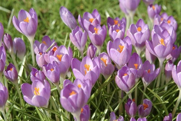 crocus time. © RBG KEW
