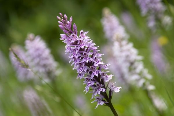 Dactylorhiza in the slips at Wakehurst Place. © RBG KEW