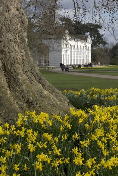 Daffodils on the Broad Walk in. © RBG KEW