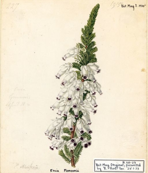 Erica monsoniae, L.f. (Lady Ann Monson's Heath). © RBG KEW