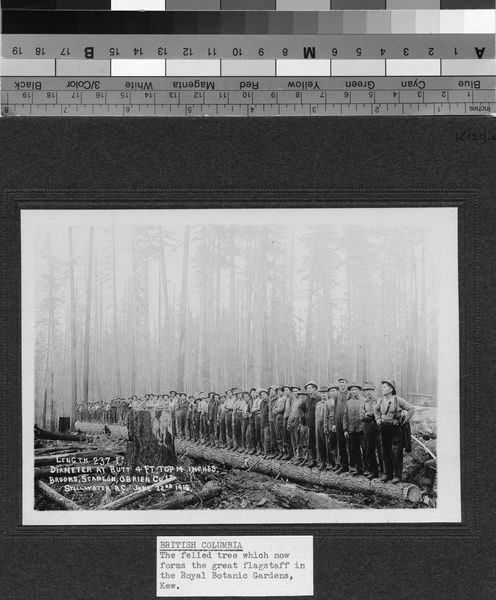 Felled tree for Kew Flagstaff, British Columbia, 1914. © RBG KEW
