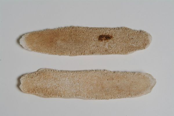 Fish Tongues used to grate Guarana. © RBG Kew
